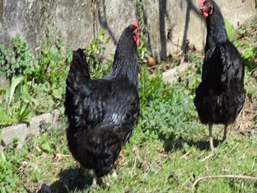 Justiça do Tocantins tenta até leilão de galinhas para executar dívida de R$ 52,00