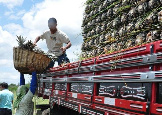 Paraíba é o segundo maior produtor de abacaxi do Brasil, revela IBGE