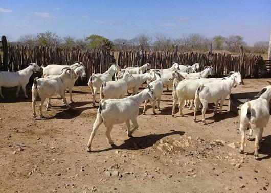 Paraíba lidera produção de leite de cabra e Governo qualifica rebanho caprino leiteiro