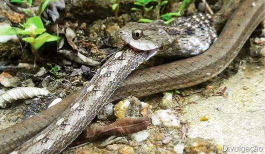 canibalismo_ serpentes_Caatinga da Paraíba