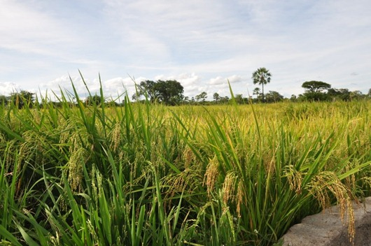 arroz vermelho_PB