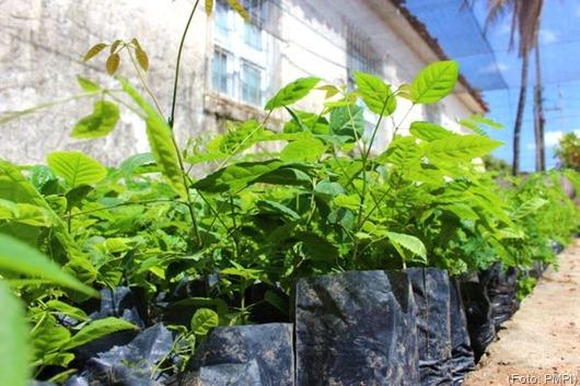 Prefeitura de Princesa Isabel_distribuição_mudas de plantas