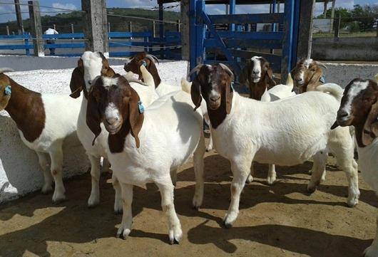 caprinocultura_Paraíba